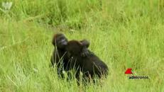 'Commovente' abbraccio tra due fratellini di gorilla