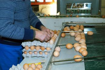 Uova contaminate, cosa rischi se le mangi