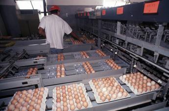 Uova al fipronil, campioni contaminati a Roma e Ancona