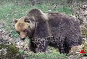 Abbattuta in Trentino l'orsa KJ2