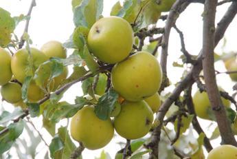Bolzano, lavoro in raccolta frutta per richiedenti asilo