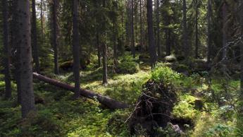 Allarme Greenpeace, fazzoletti di carta divorano la foresta boreale