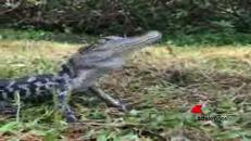 Al baby alligatore piacciono le carezze