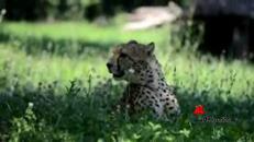 Lex e Nero, ghepardi anti - estinzione