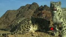 Le rare immagini del leopardo delle nevi