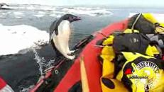 Il balzo in barca del pinguino curioso