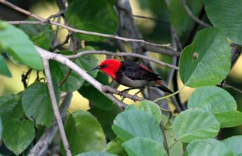 Scoperta nuova specie di uccello in Indonesia