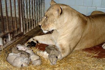 Svezia, uno zoo sopprime nove cuccioli di leone: non potevano esser ricollocati