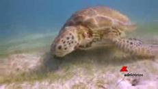 Sos tartaruga verde barriera corallina