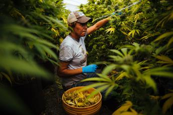 California, la marijuana è legale