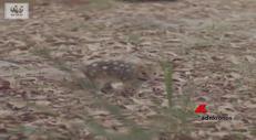 Il ritorno del gatto marsupiale maculato