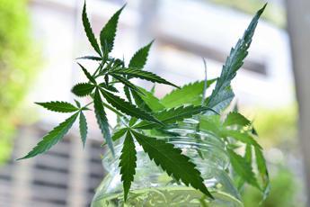 Il futuro della cannabis terapeutica made in Italy