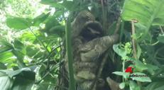Mamma bradipo riabbraccia il suo cucciolo