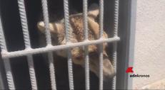 Liberato dalla gabbia, l'orso è salvo