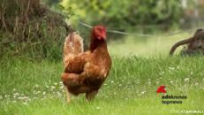 Dentro i lager delle galline ovaiole