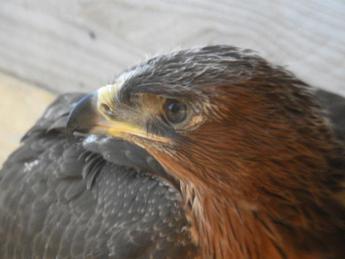 Animali: Aquila Bonelli, il ritorno della specie in Sardegna