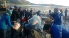 Balena di 10 metri spiaggiata in Cile, salvata da volontari e militari