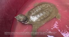 Tartaruga 'aliena' nel lago di Garda