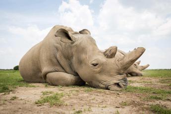 Salvate il rinoceronte bianco del Nord. Speranza dai primi embrioni in vitro