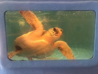 Tartaday, tartarughe marine protagoniste