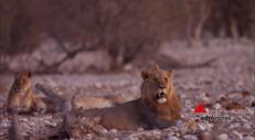 La festa degli ultimi re: solo 20.600 i leoni rimasti