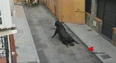 Toro si spezza le zampe, lasciato per strada agonizzante