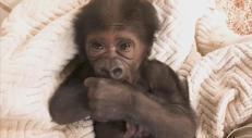 Baby gorilla in via d'estinzione nasce a Jacksonville