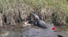 L'alligatore sbrana il pitone
