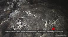 Carcasse di animali, vitelli senza testa: video choc