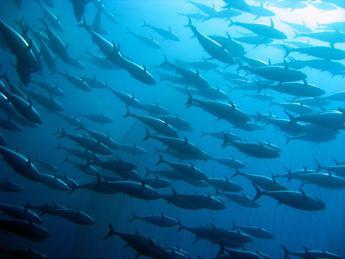 Pesce sostenibile, tonno e salmone certificati per Findus