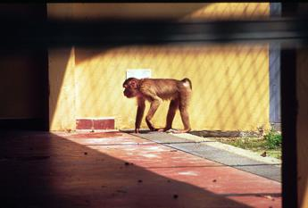 Israele, scimmia rimpatriata in Libano grazie all'Onu