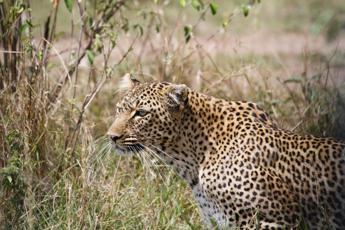 Sudafrica, 14 leoni in fuga dal Parco Kruger: