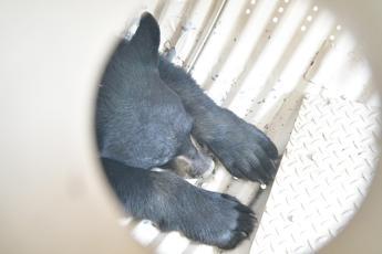 La cattura, poi la fuga: scoppia caso orso M49