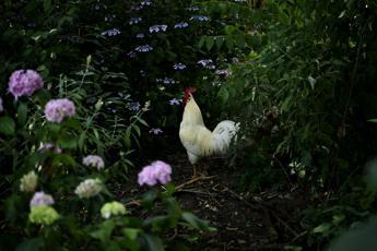 Svizzera, tribunale obbliga gallo a tacere fino alle otto