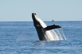Giappone riprende caccia commerciale alle balene