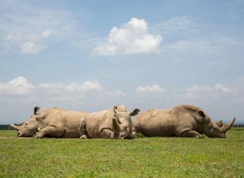 Creati i primi 2 embrioni per salvare il rinoceronte bianco del Nord dall'estinzione