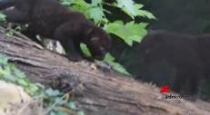 Cuccioli di pantera, contest su Facebook per scegliere il nome