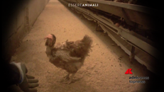 Galline in gabbia maltrattate e uccise, ultima video inchiesta di Essere Animali