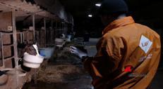 Cremona, orrore in allevamento di mucche da latte