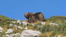 C'era una volta l'orso marsicano, ne restano solo 50 esemplari