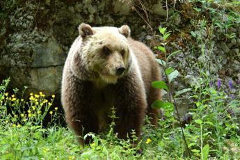 Orsa investita e uccisa in Abruzzo, Wwf: Perdita immensa
