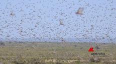 Locuste, la tempesta di cavallette che mette in ginocchio l'Africa fa paura