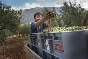 Olio: in Sicilia produzione inferiore ad attese ma qualità eccellente